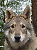 Wolfteam´s Grey Called To Hopea
