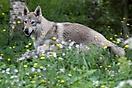 Sun Gifu Dark Wolf Xing