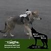 Wolf Awareness Week